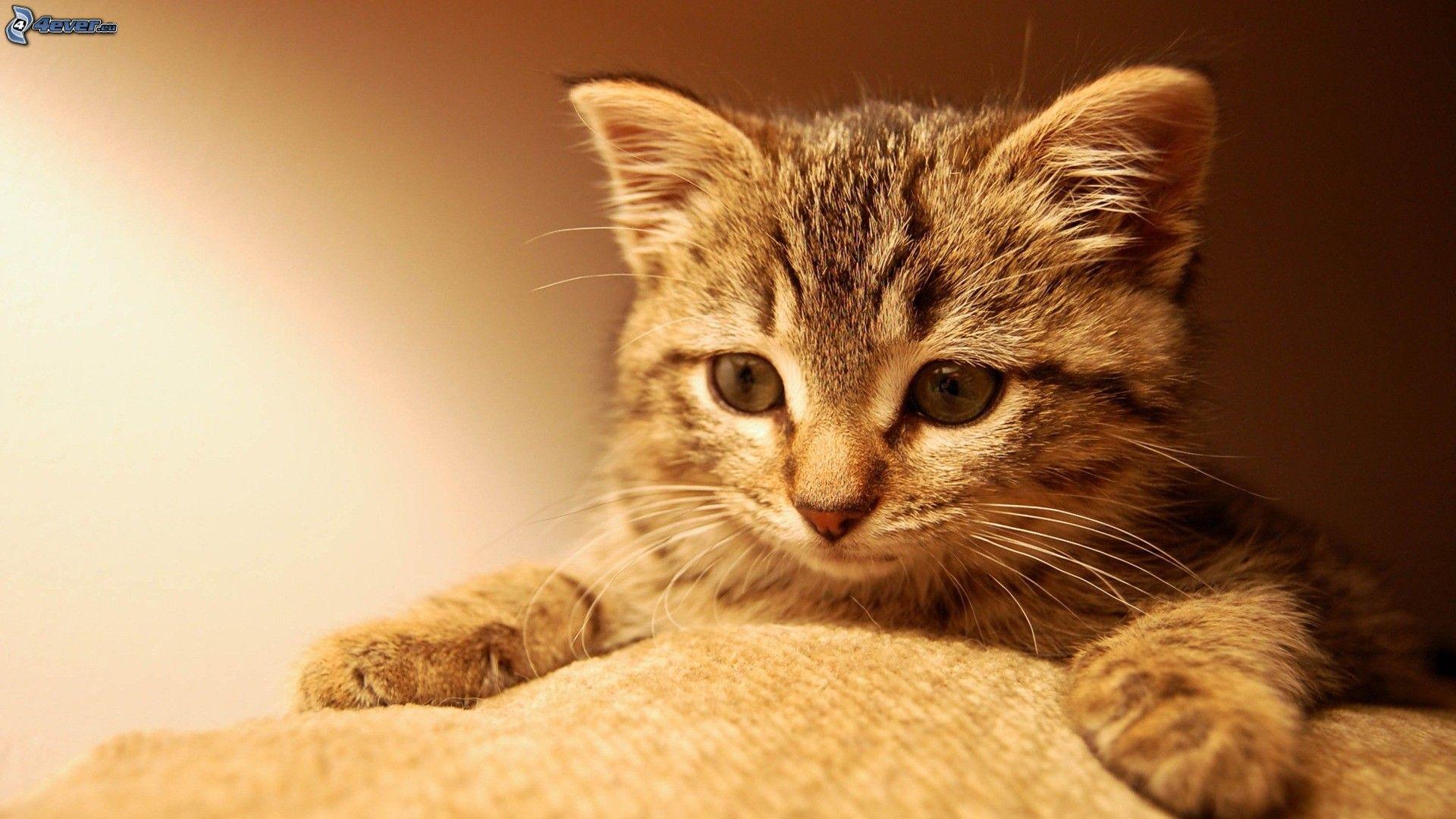 cute kitten wallpapers free download