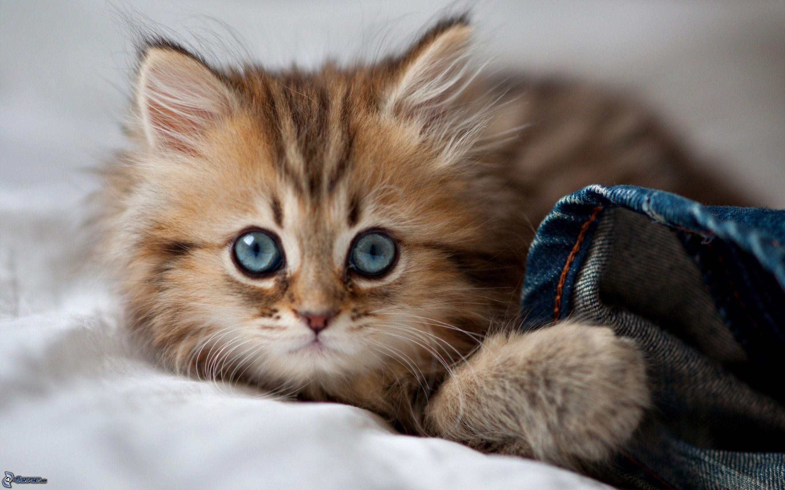 petit chaton, chat roux