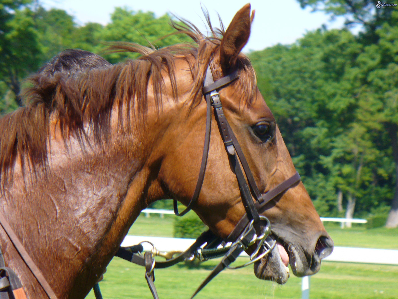 Cheval brun - Image tete de cheval ...