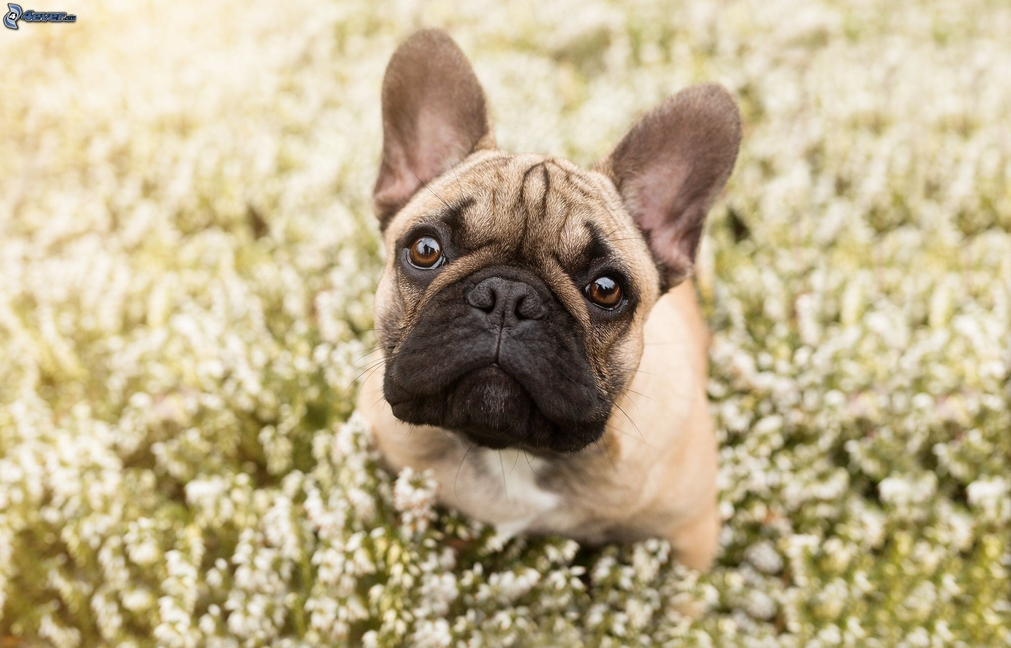 Bulldog anglais for Bouledogue inglese