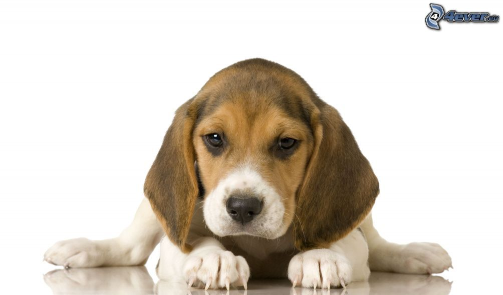 Chiot beagle - Chiot beagle gratuit ...