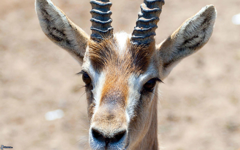 tete gazelle