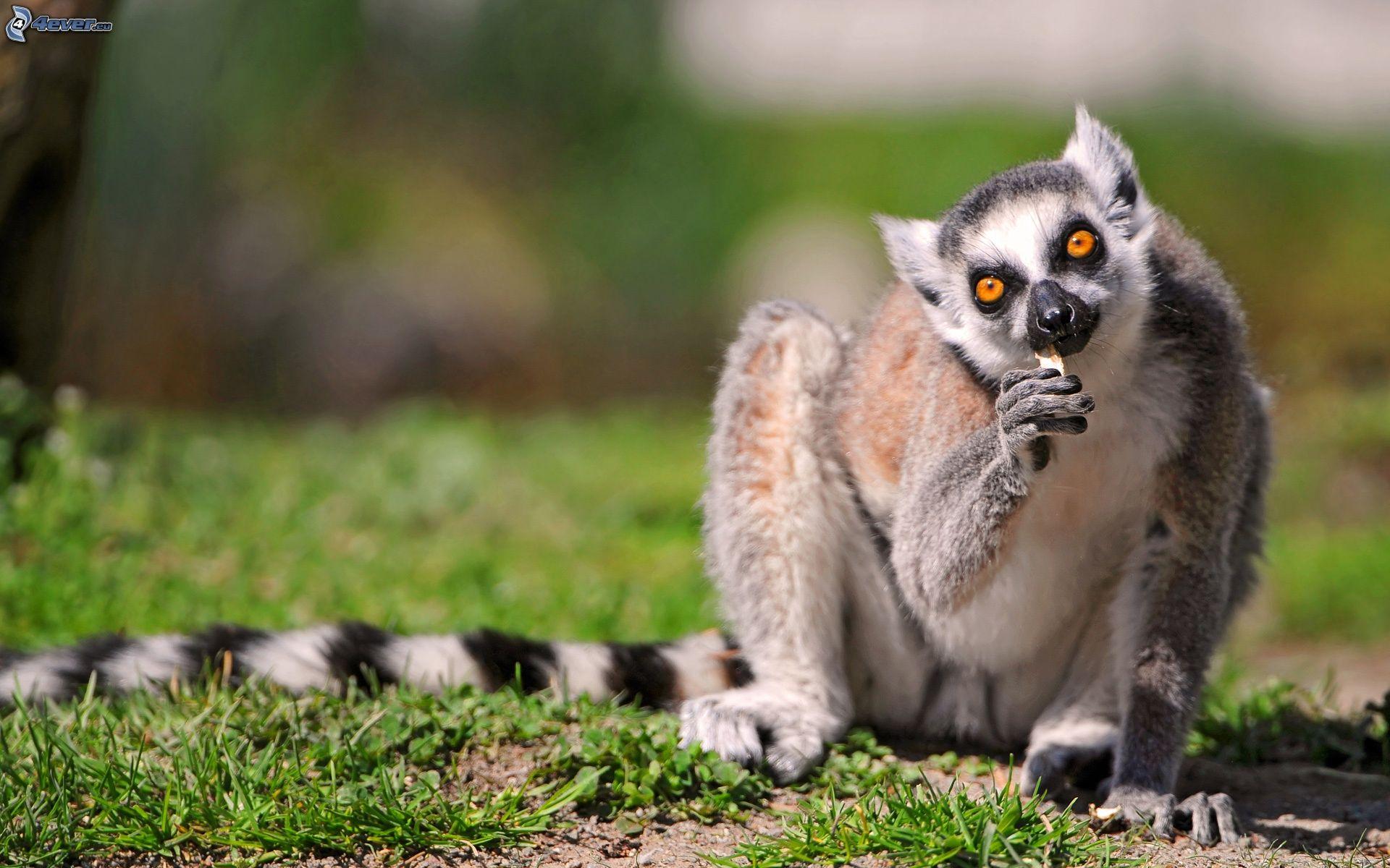 download wallpaper 3840x2160 lemur-#11