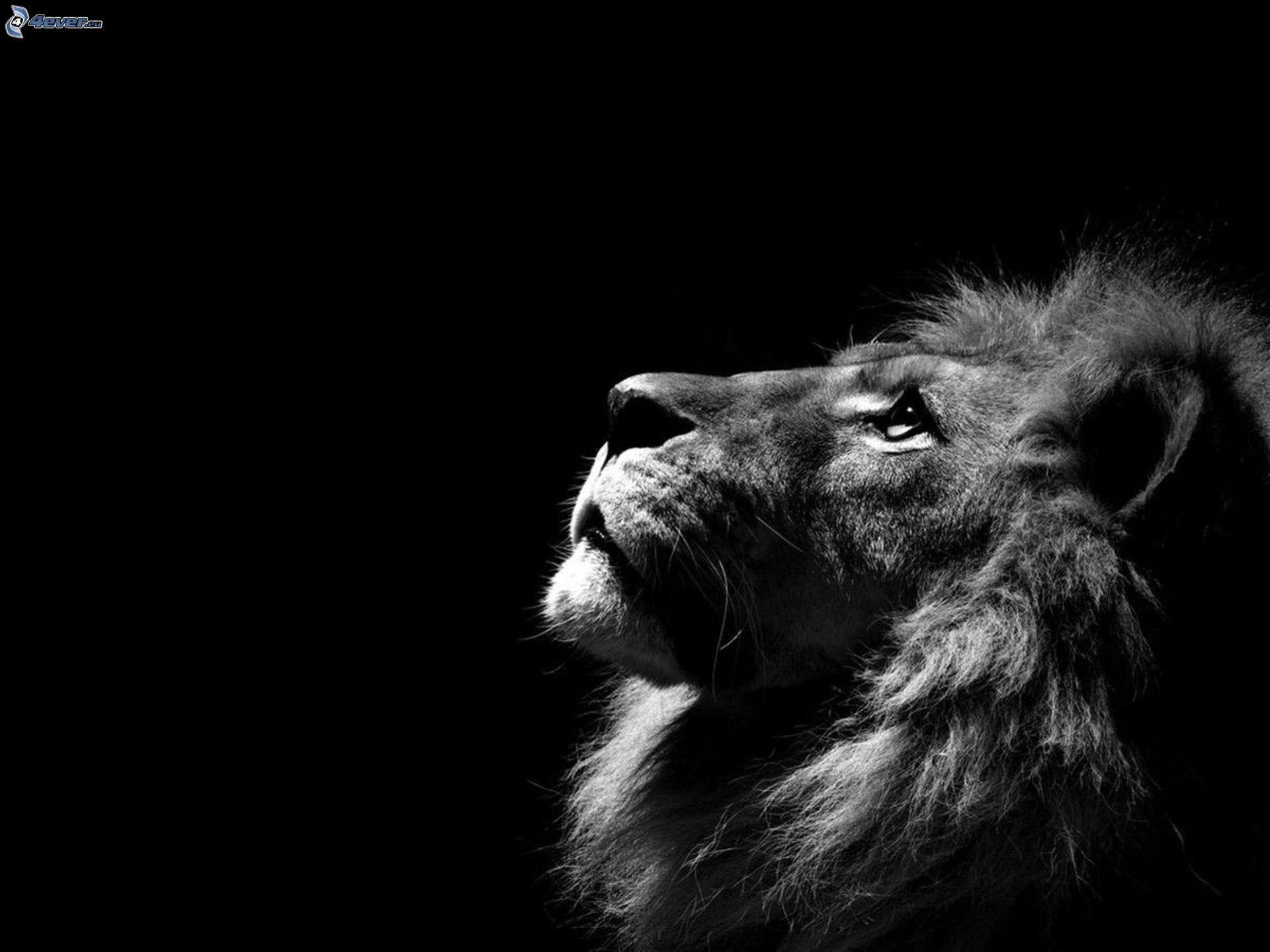 lion. Black Bedroom Furniture Sets. Home Design Ideas