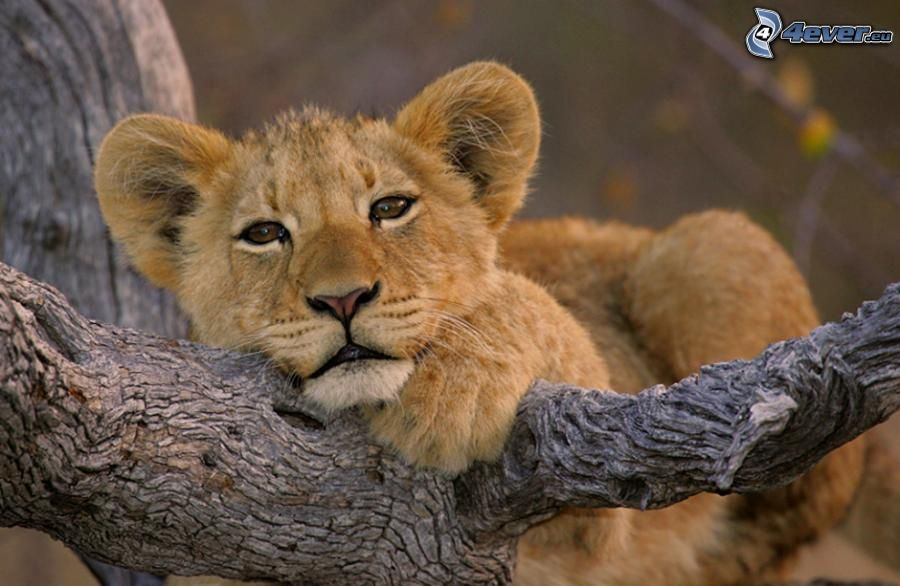Lionceau for Sfondi leone