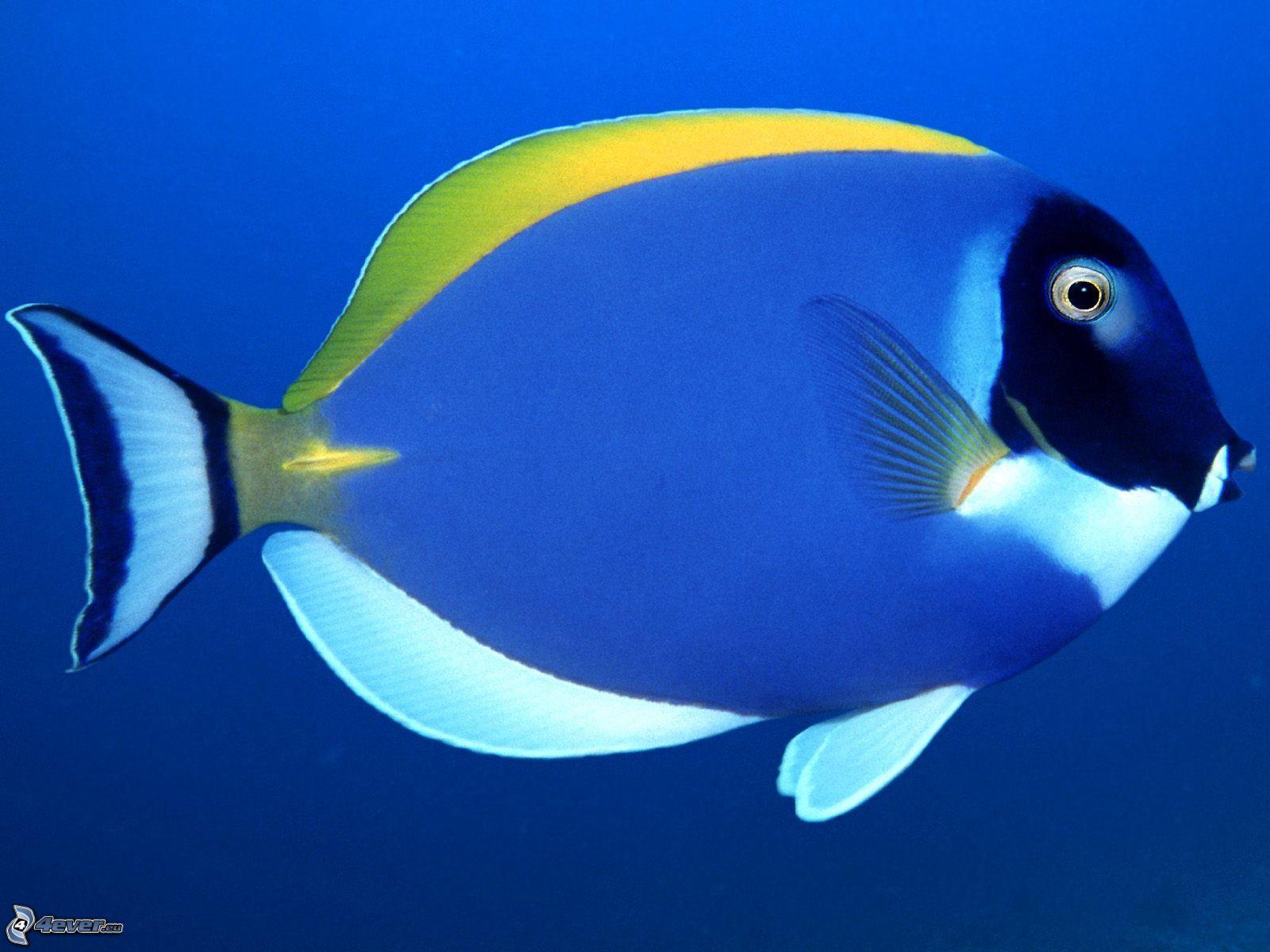Télécharger l'image Téléchargement libre Télécharger sans logo ...: images.4ever.eu/animaux/vie-aquatique/poisson-bleu-149499