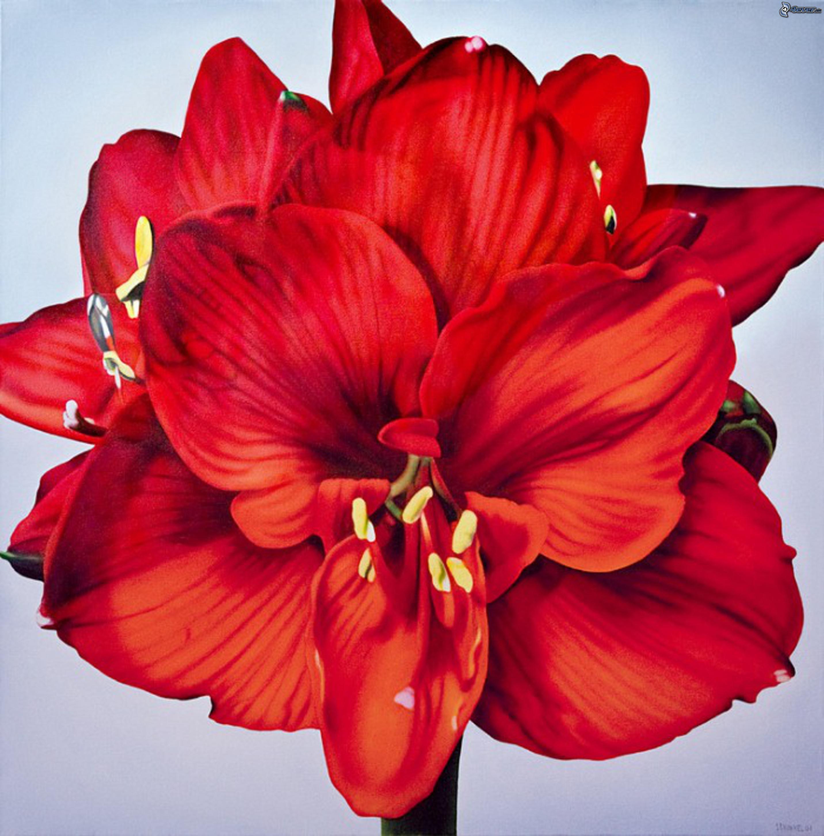 Amaryllis for Amaryllis fleurs