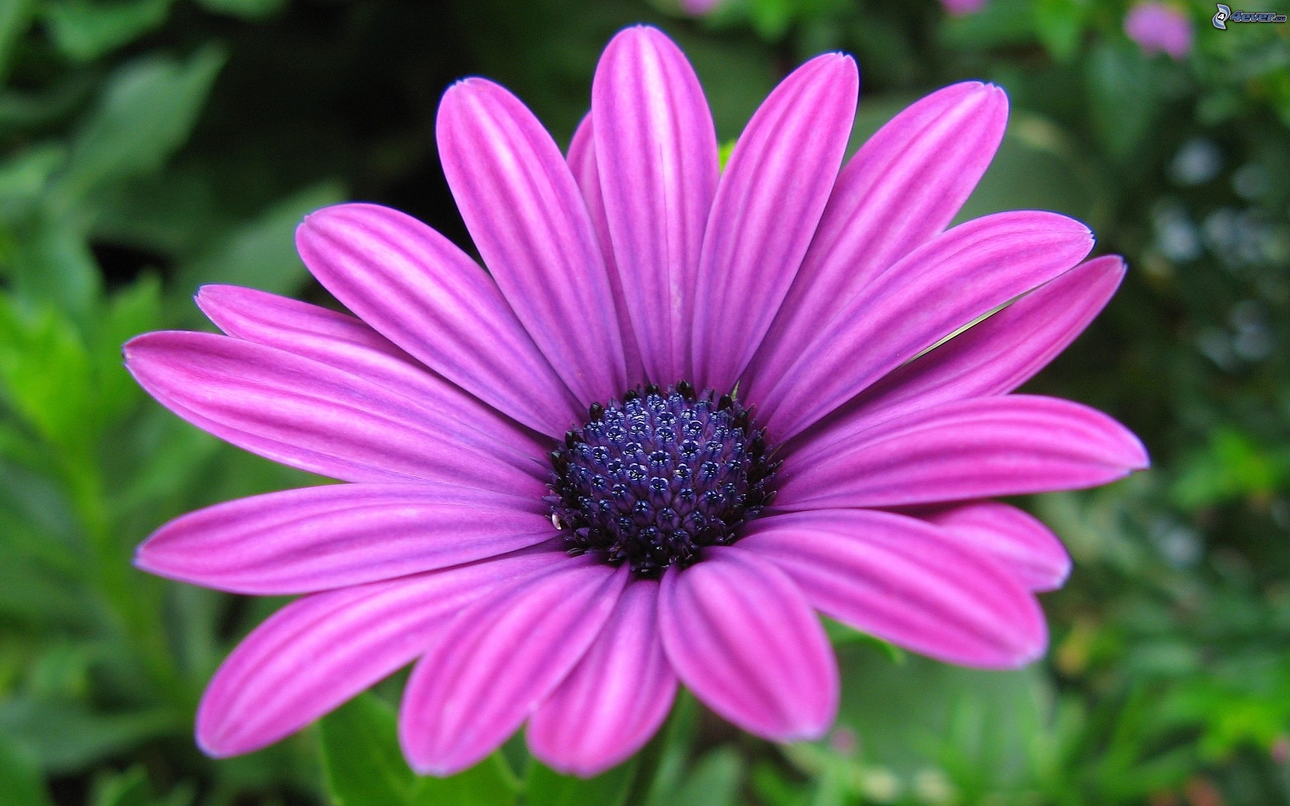 Fleur violette - Image fleur violette ...