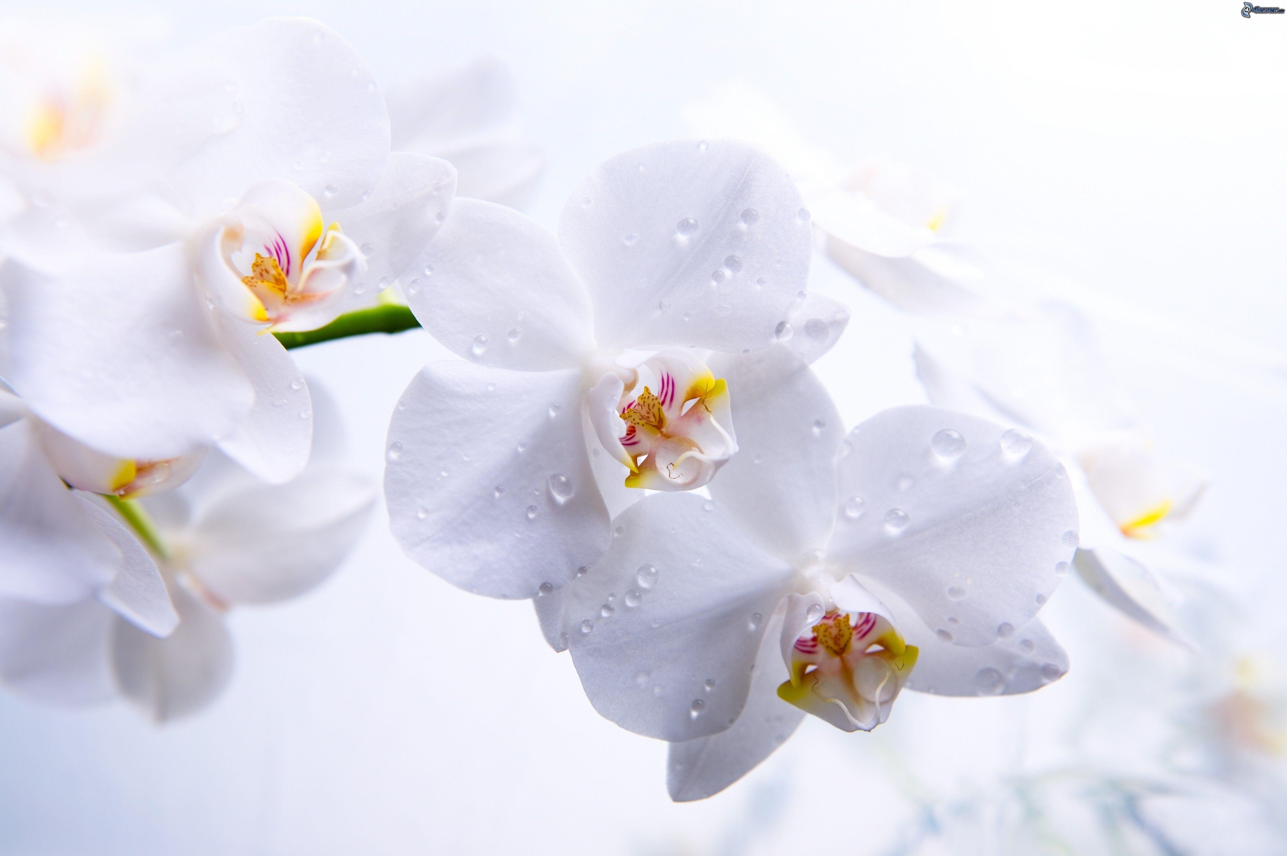Fleurs blanches - Fleurs des champs blanches ...