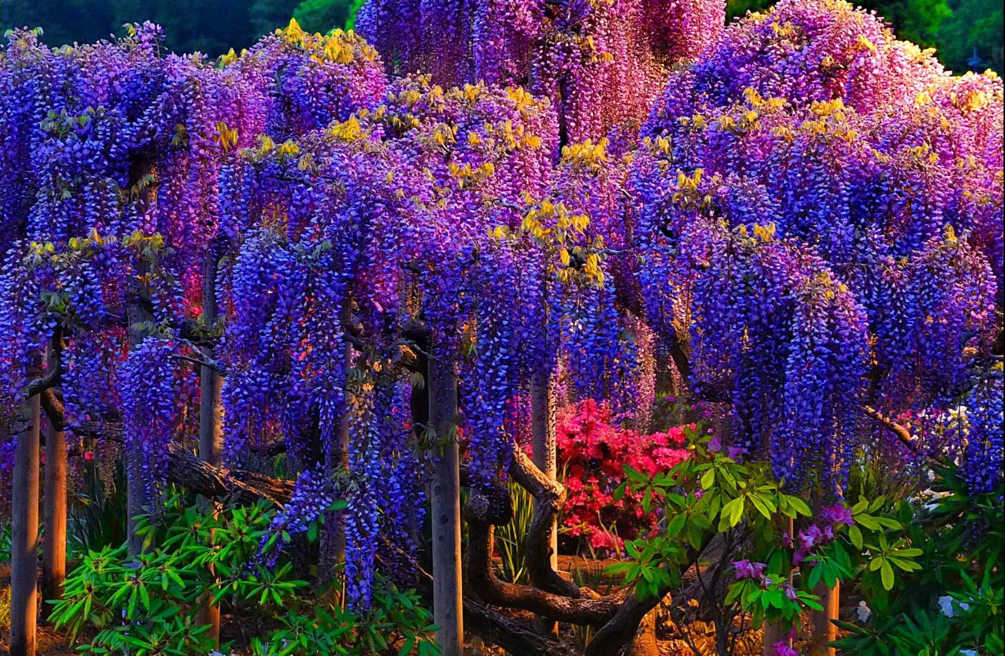 wisteria arbre violet
